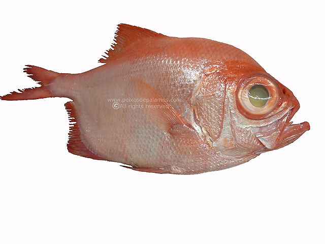 Red bream