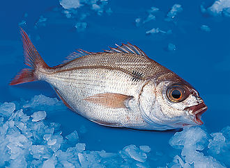 Blue spotted bream